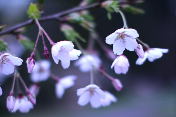 Retreat-cherry-blossom_160411_close_w600