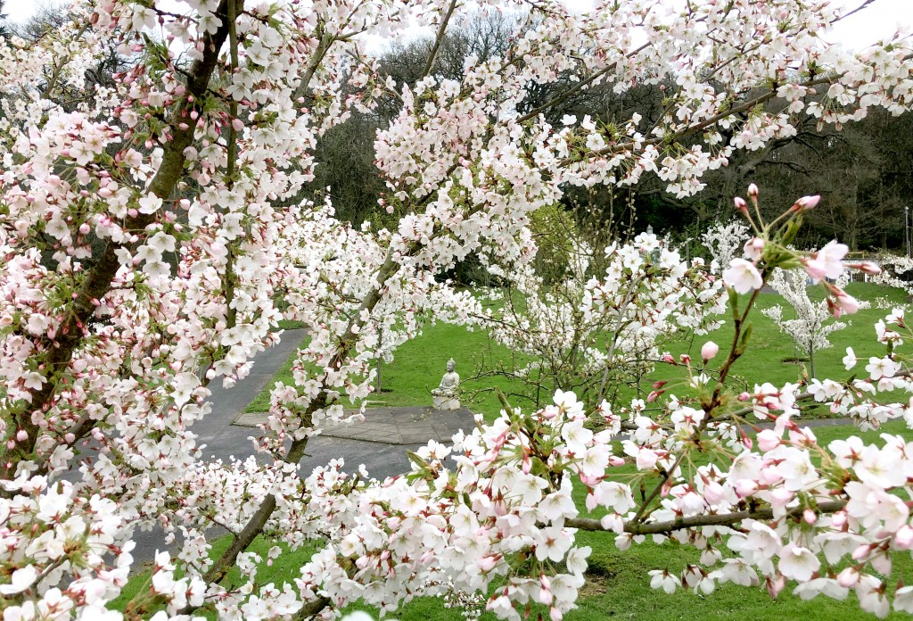 190327_Buddha amidst Cherry Blossom